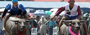 Buffalo Racing Festival in Chonburi