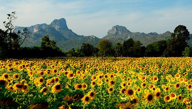 Het zonnebloem seizoen in Thailand